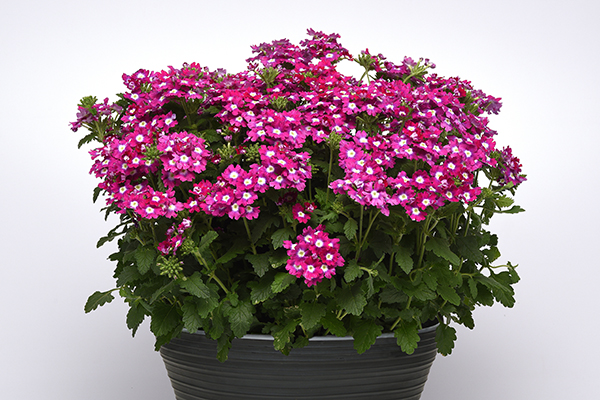 Cadet Upright™ Verbena