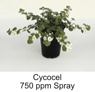 picture of plant treated with 750ppm Cycocel spray